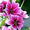 ゼニアオイ - 今日の誕生花 -
