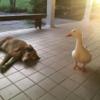大親友を亡くして失意の日々を送っていた犬。彼に再び生きる力を与えたのは1羽のアヒルの存在だった(アメリカ)