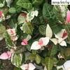 #9 ハツユキカズラ 少〜しづつ白い葉が増えていく
