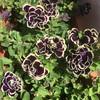 【おまけ】黒ペチュニアまだまだ開花中🌸
