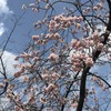 早咲き桜が満開です@隅田川テラス