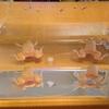 我が家のアフリカツメガエル その2