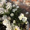 宿根アレナリア ブリザードコンパクトが咲きました!