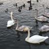 【柏崎市・西山】こんなときになんですが、白鳥を見に行きました!
