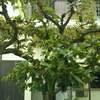 「柿の木」のその後。