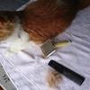 猫ちゃーの日課 早朝のブラッシング と夕方のレニーム