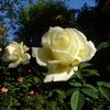 ミモザ・ガーデンの日記 バラを見物