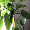 観葉植物の増殖作戦は、どこまでも続く (通算4本目)