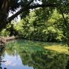 水面の緑に生命の息吹@井の頭池