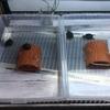 トウブドロガメ、'18子亀の成長6。