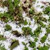 積雪1センチ 白い雪と雑草の緑♪