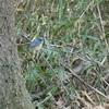 青い鳥も大好き…ルリビタキ!