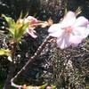 河津桜が咲きました。  日常