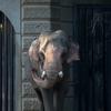 インドゾウ Elephas maximus indicus