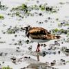 干潟のキョウジョシギ