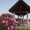 エゾムラサキツツジが咲き出した…