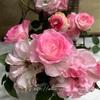 """【庭】Rosa.min """" Lovely Princess Optima """""""
