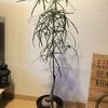 《ボトルツリー成長記録》植え替え後もぐんぐん成長中!