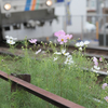 電車と秋桜