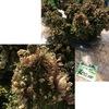 """イワマツ 正式和名はイワヒバ.シダの仲間で,""""古典園芸植物""""としてその名が知られているとのこと.芭蕉の俳句にも(五月雨 岩檜葉の緑 いつまでぞ).シダの仲間ですが,多くのシダが属するシダ綱(シダ植物門 )とは別の,ヒカゲノカズラ綱 .古典園芸植物の主役の一つであり,また,古代植物の生き残りの一つでもある  イワヒバ(イワマツ),侮れません."""