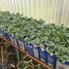 今年もイチゴ苗販売が絶好調!未払い客の家を訪問してみたところ・・・