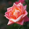 吉香薔薇園:その弐