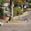 公園にくる人たちのくれるエサに群がる手賀沼公園のユリカモメたち