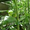 人気の果菜類!ミニトマト