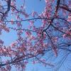 2月20日(火)順調に開花が進む石神井川沿いの河津桜と、アートネイチャーのCMの謎