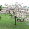 水前寺、旧市立体育館跡広場の桜