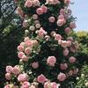 無農薬で育てられるバラについて想定で選んでみました。