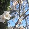 桜、色、皇室