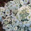 咲きこぼれる純白