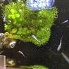 星河スワローメダカのその後。稚魚たちは無事に孵化し成長しています。
