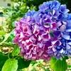 紫陽花の七変化♪