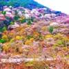 石鎚山の桜