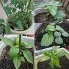 【夏こそ家庭菜園を始めよう!】自宅で採れる野菜は最高です♡