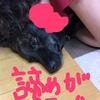 甲斐犬サン、諦めるの巻〜愛情ッテ重イノネ……(╥ω╥`)。