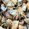 【男女共同参画・志摩スペイン村】12月1日 三重県志摩市及び周辺地域全体で真珠養殖アコヤガイが7割死ぬ【スペインの太陽は順風満帆】