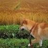 麦畑が麦色