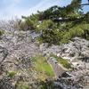 夙川堤の桜。