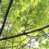 オオムシクイが多い日(大阪城野鳥探鳥 2015/05/24 4:40-11:40)