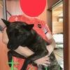甲斐犬サン、部屋からほっぽり出されるの巻〜┐(´д`)┌ Do you kotoyanen?