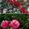 キョウチクトウ科の花たち2 キョウチクトウ 花の美しさでもキョウチクトウ科の代表と言えるかもしれません.インド原産で中国名が夾竹桃.日本へは中国経由で江戸時代に渡来.庭木以外に都市緑化に用いられています.毒性/薬効を持つことでもよく知られています.主成分オレアンドリンの毒性は青酸カリより強いとはいえ,口に入れない限り大丈夫ですから,神経質になる必要はないといえます.セイヨウキョウチクトウの亜種扱いですが,見分けるのはとても難しいとのこと.