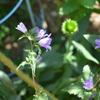 カンパヌラ トゥラケリウムまた咲き始める。