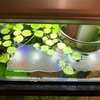 メダカの稚魚の生存確認、19日目。それと水草の成長の比較。