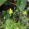 Ranunculus ternatus var.lutchuensis