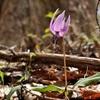 【カタクリ】春の妖精~Spring ephemeral~