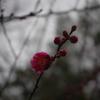 紅梅が咲いている!