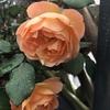 2番花がちらほらと咲いています。